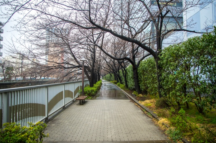 One of the Meguro river banks, you can see the sakura trees next to the sidewalk - very busy place during hanami season.
